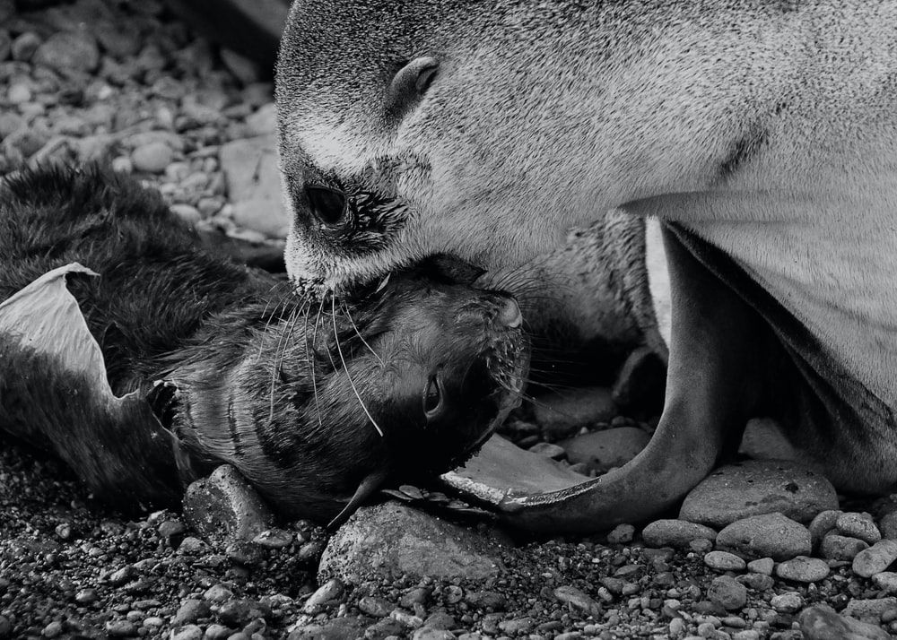 grayscale photo of seal lying on ground