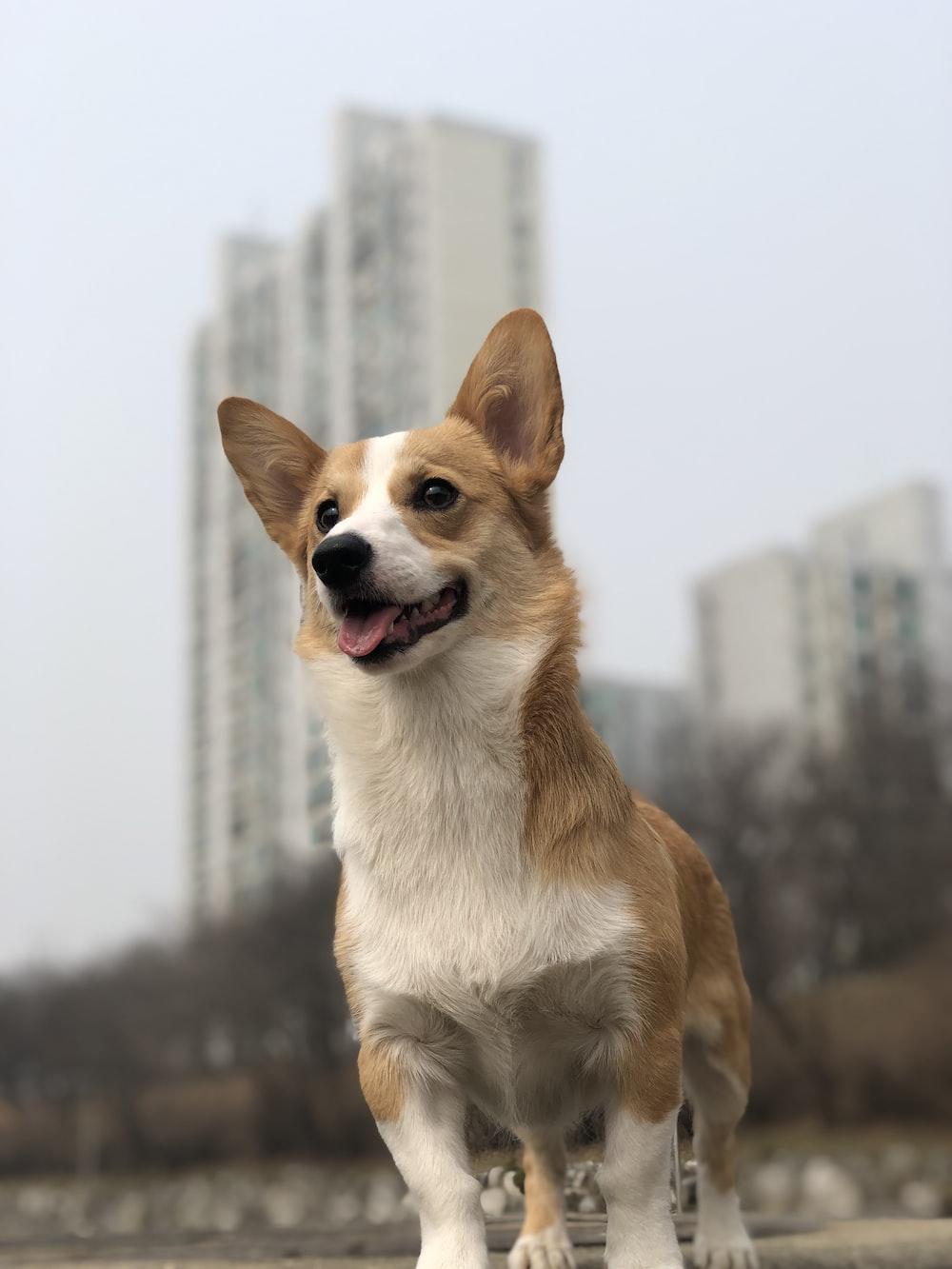 brown and white corgi dog