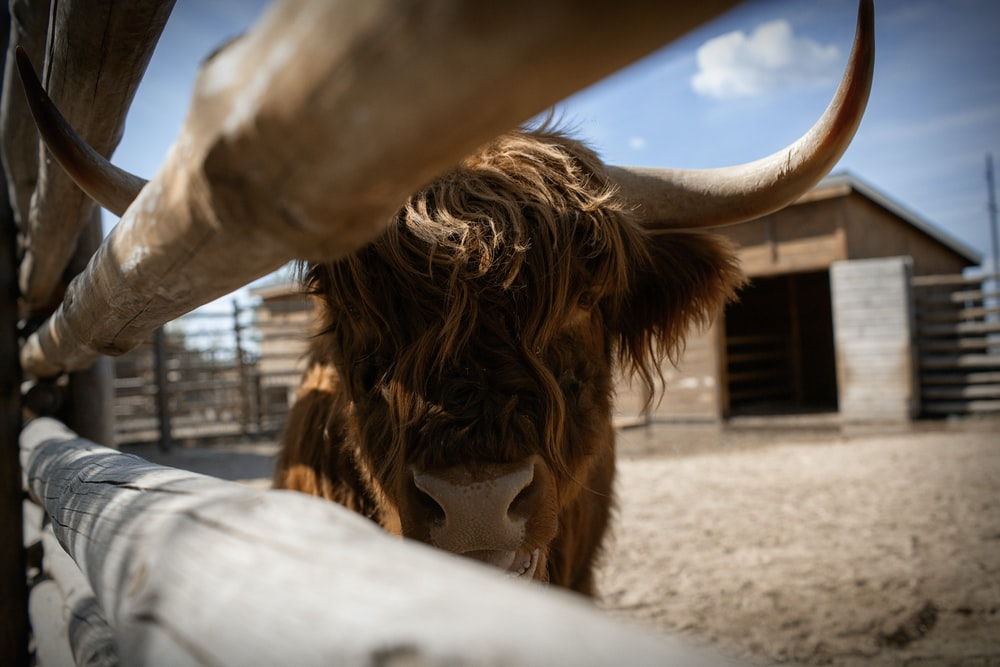 brown cow in a cage