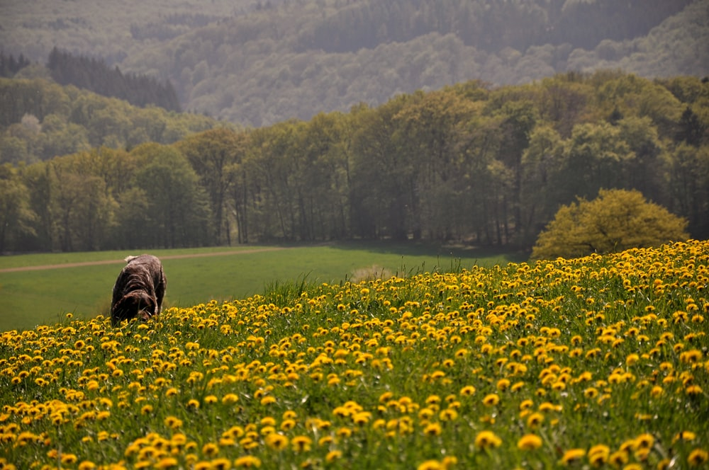 yellow flower field near green trees during daytime