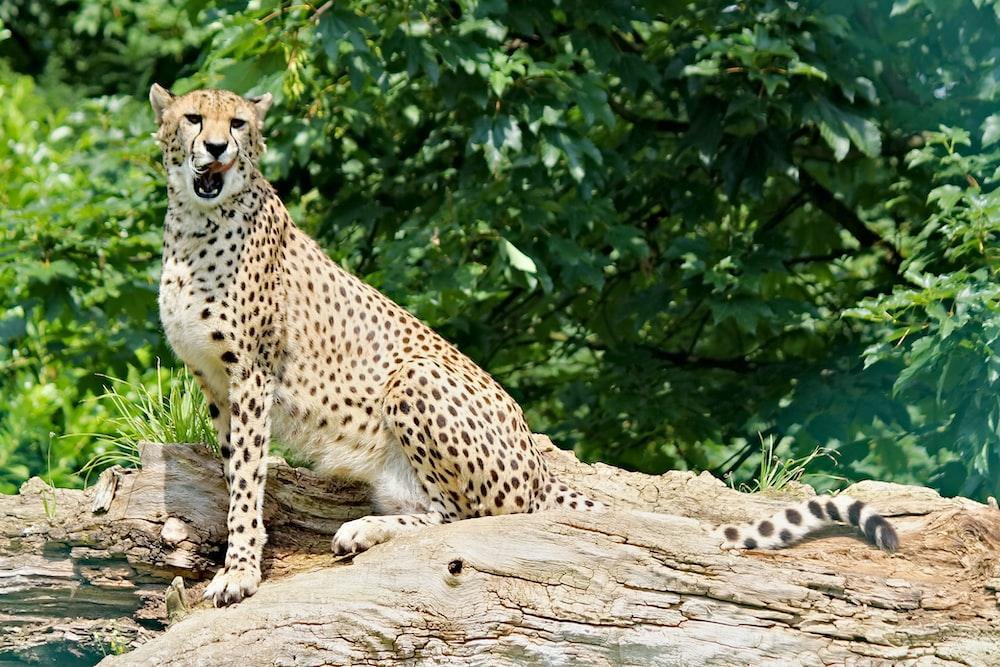 cheetah on brown tree log during daytime