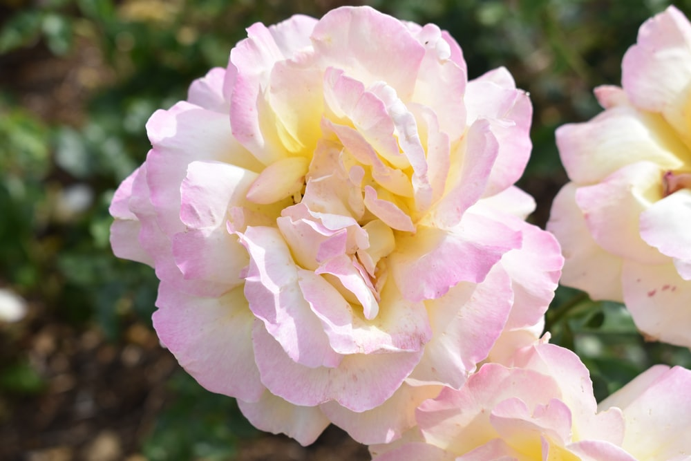 pink and yellow rose in bloom during daytime