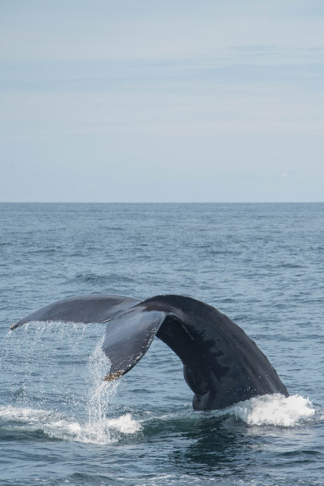 a whale dives under the water near Cape Cod