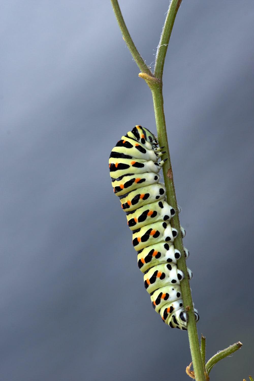 black and white caterpillar on green stem
