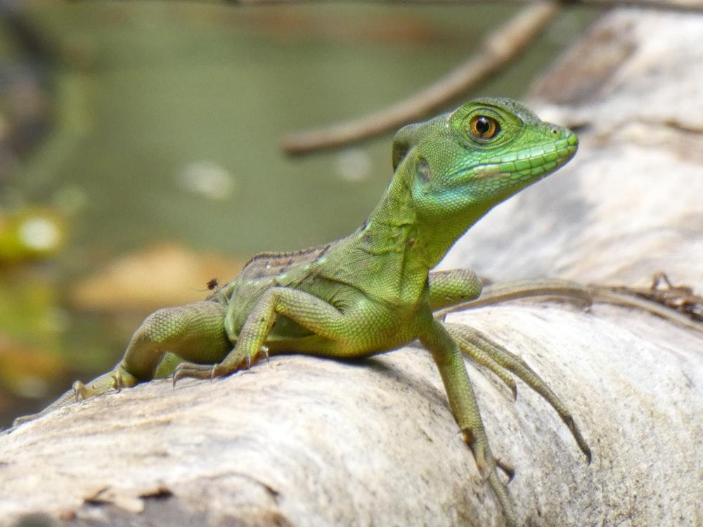 green lizard on brown wood