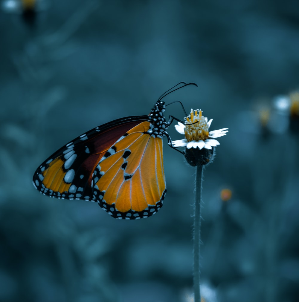 monarch butterfly perched on white flower in close up photography during daytime