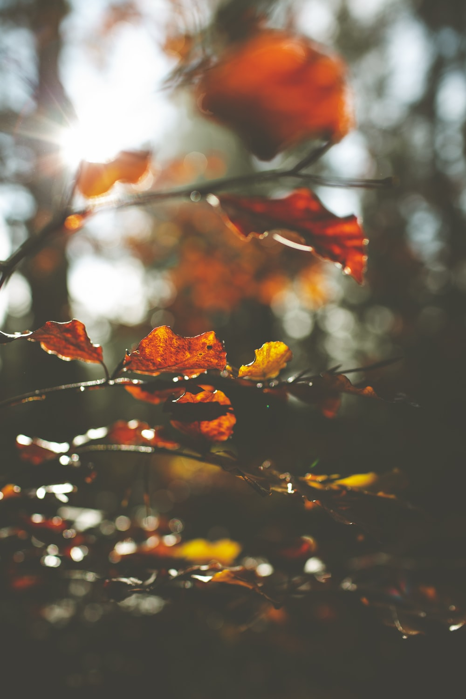 red maple leaf in tilt shift lens