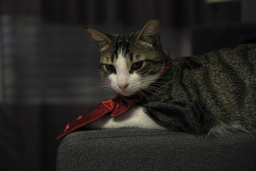 brown tabby cat with red ribbon on gray textile