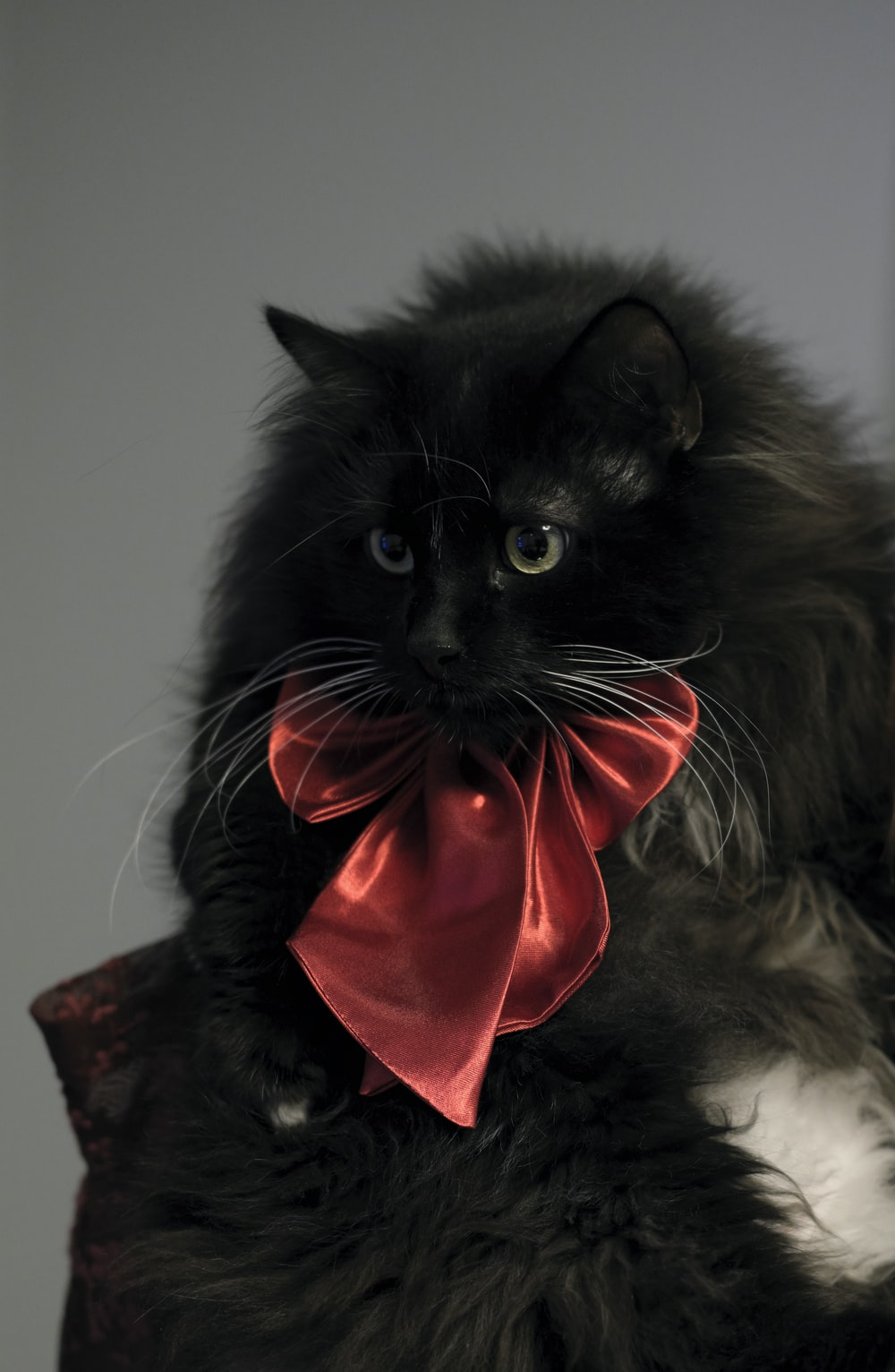tuxedo cat with red ribbon