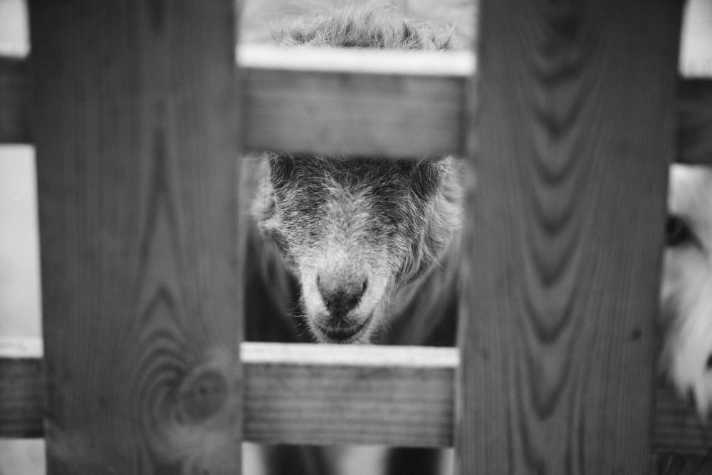 grayscale photo of a lion head