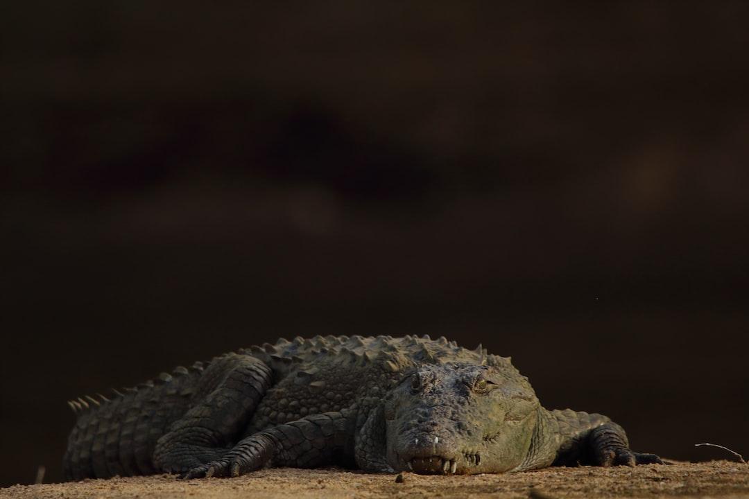 Crocodile basking - Marsh Crocodile
