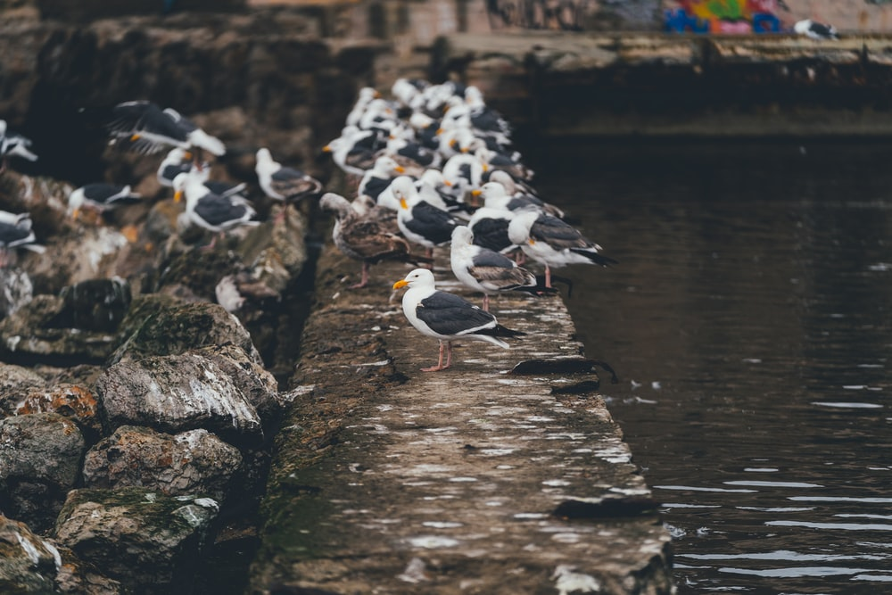 flock of white and black birds on brown wooden dock during daytime