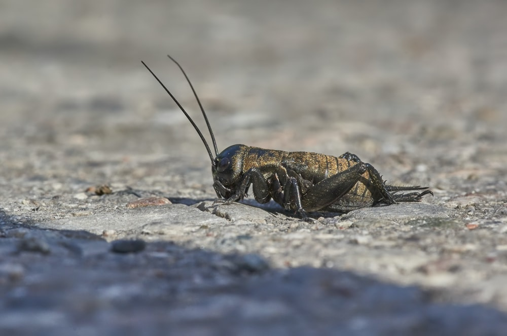 brown and black grasshopper on gray rock