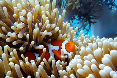 clown fish on coral reef great barrier reef zoom background