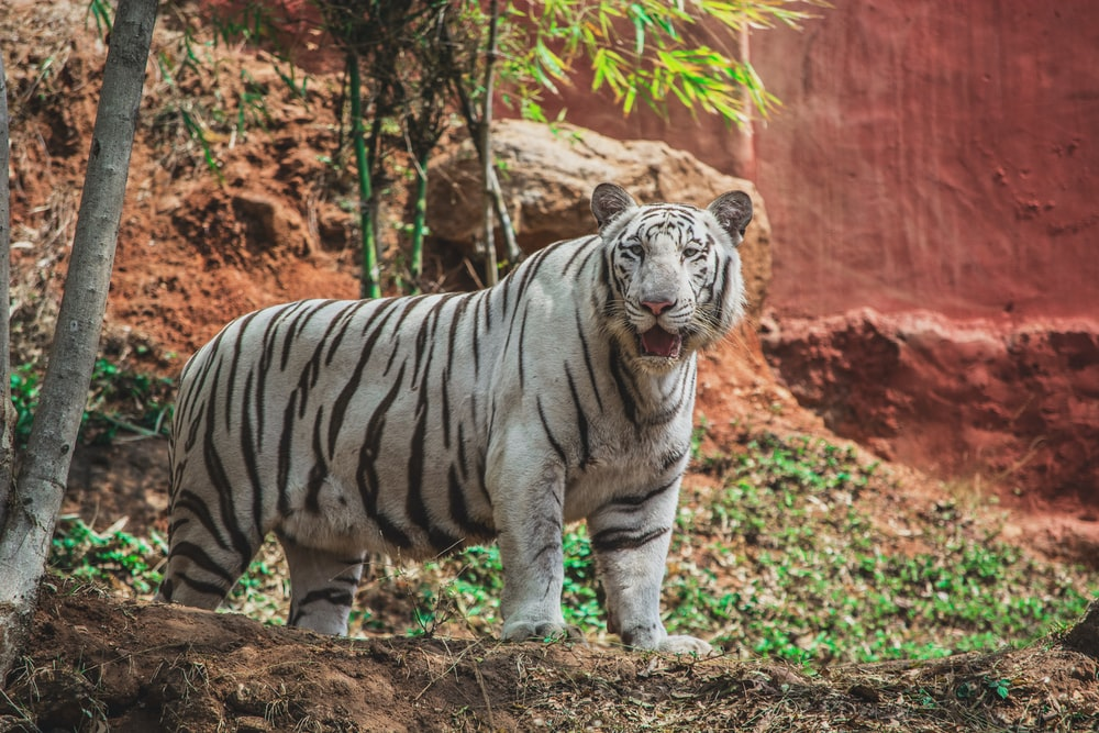 white and black tiger walking on brown leaves during daytime