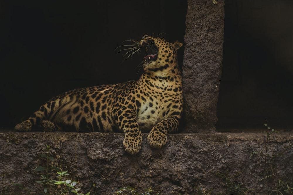 leopard lying on brown rock