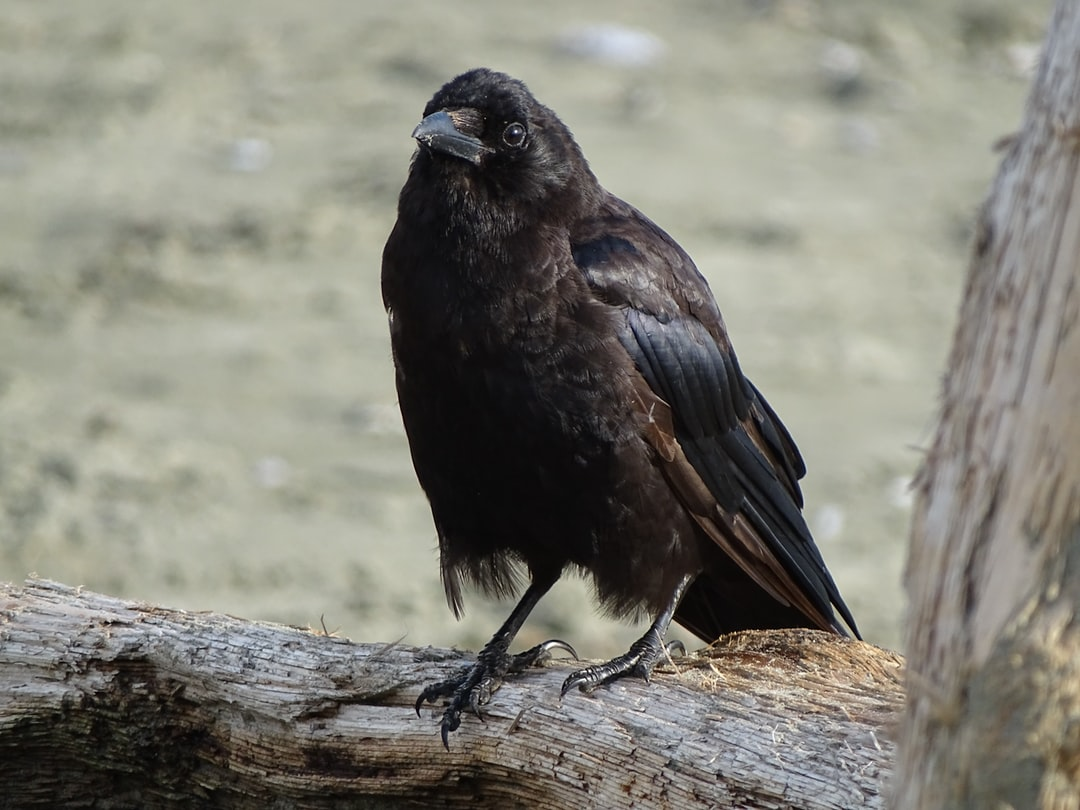 Black crow watching the environment