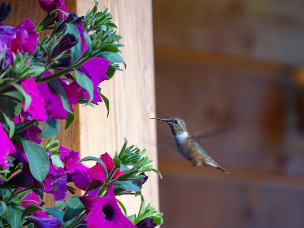 green and brown humming bird flying near purple flowers