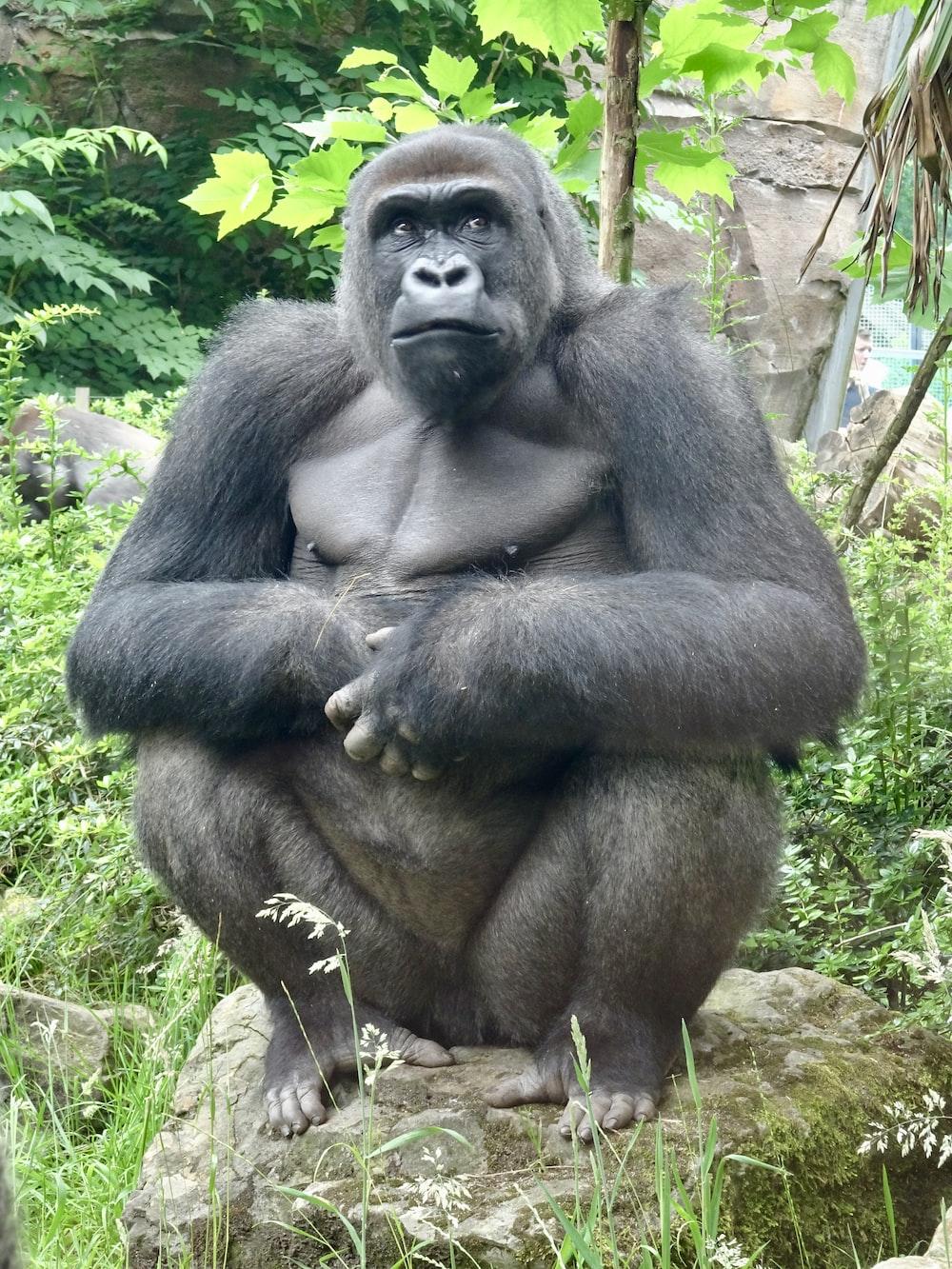 gorilla sitting on green grass during daytime