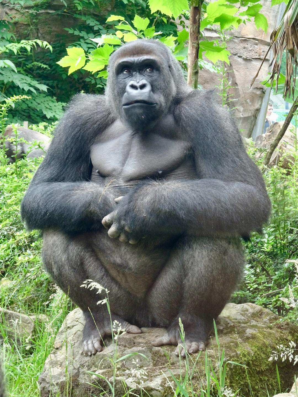 A western lowland gorilla observing his observers, Ouwehands dierenpark Rhenen, Netherlands