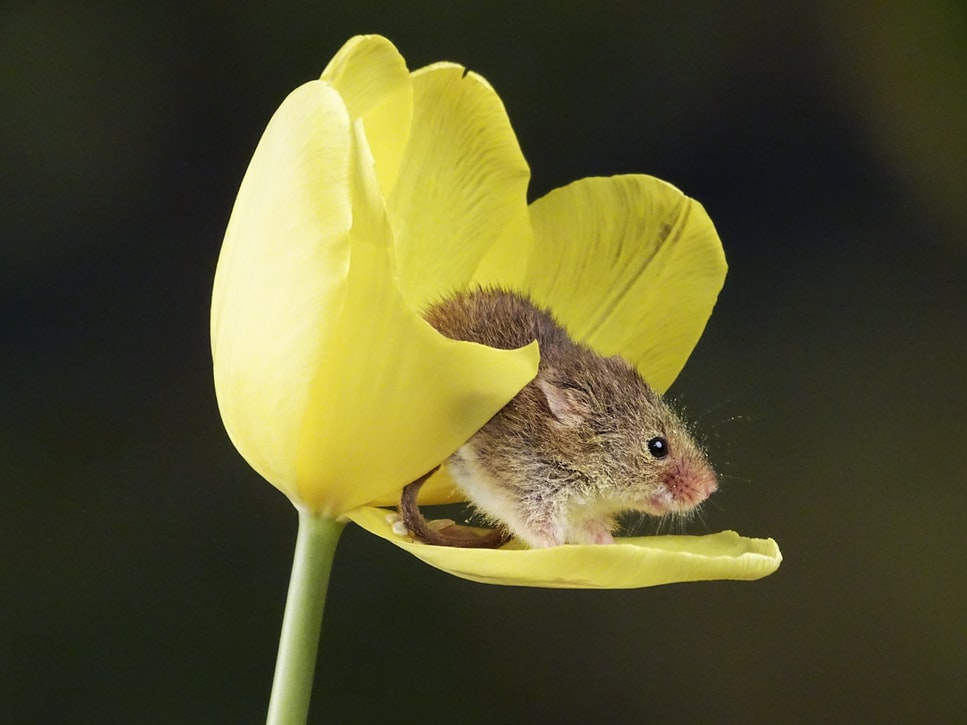 Mouse in flower