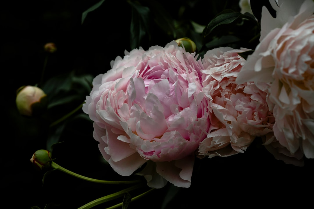 Before the storm. Peonies.