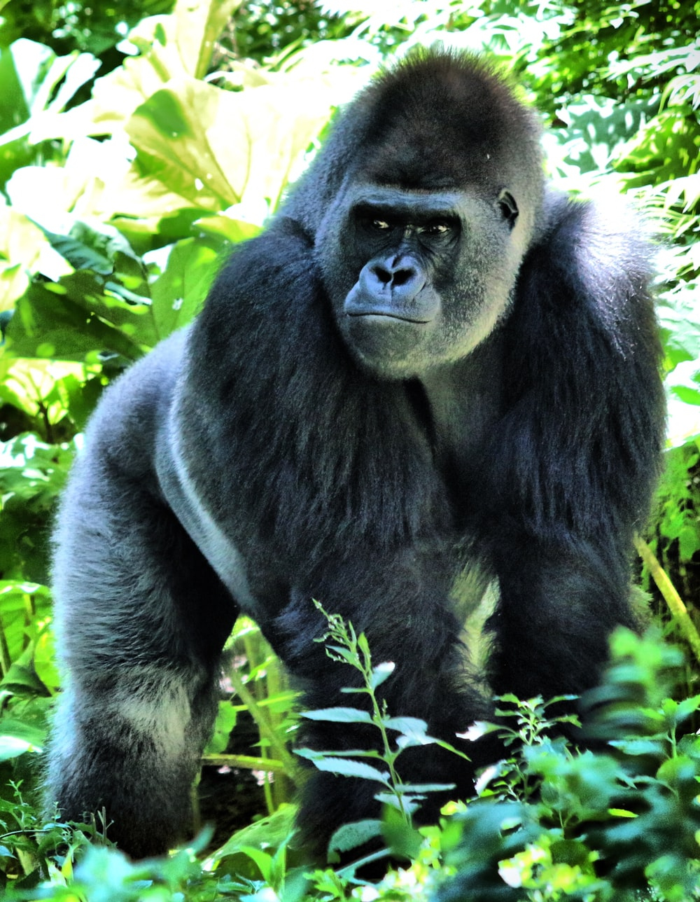black gorilla under green leaves