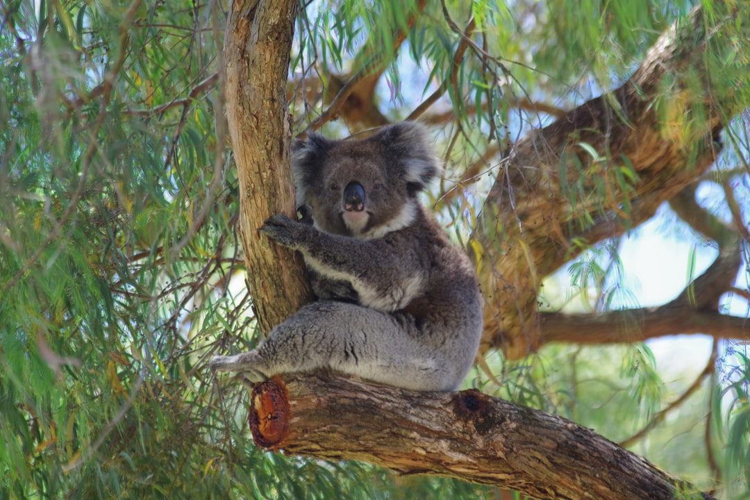 Koala sitting relaxed in tree
