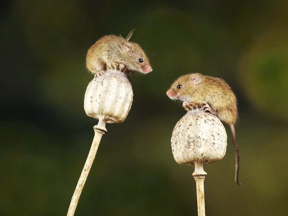 brown mouse on brown wooden stick