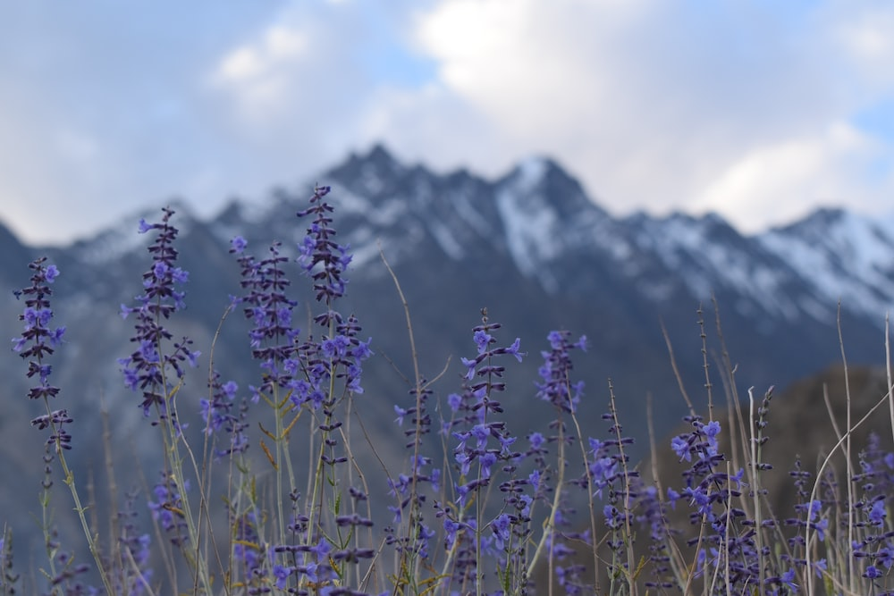 purple flowers near snow covered mountain during daytime