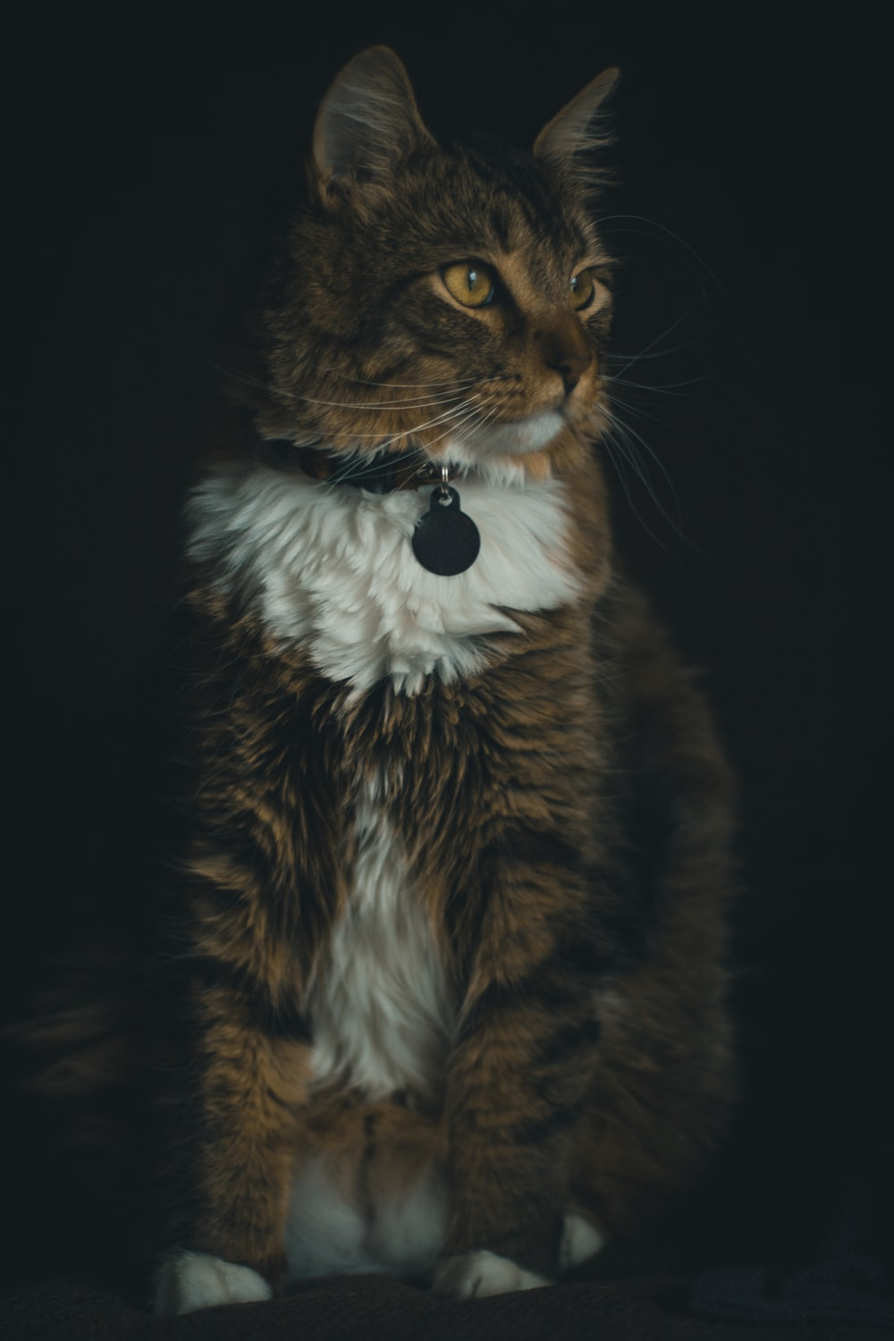 brown and white cat with white collar