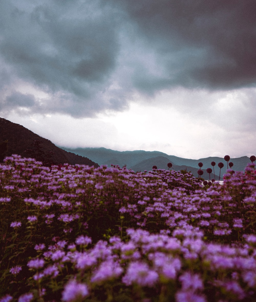 purple flower field near mountain under cloudy sky during daytime