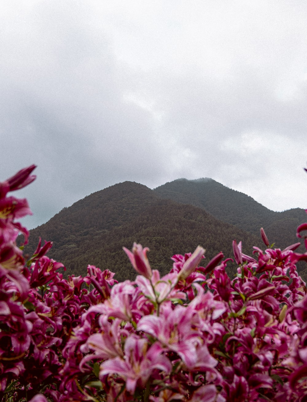 pink flowers on green grass field near green mountain under white cloudy sky during daytime