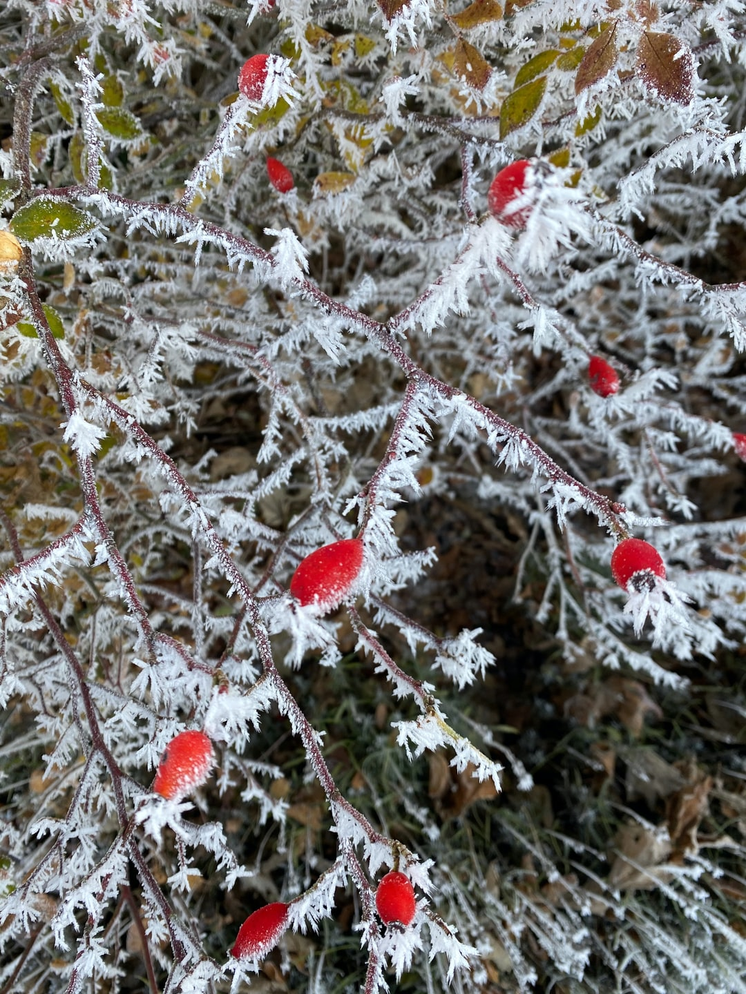frosted green leaves on red berry bush, Kollnburg, Bavarian forest