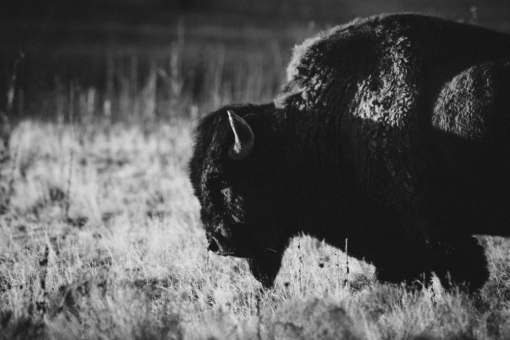 grayscale photo of bison on grass field