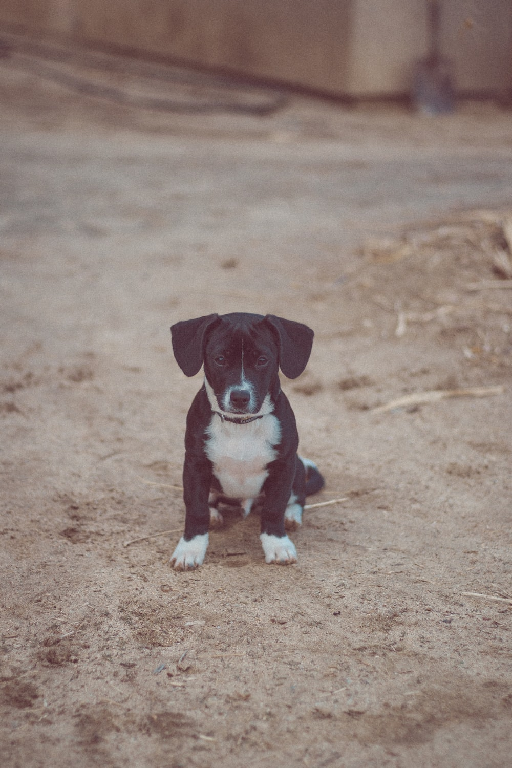 black and white short coat small dog sitting on brown sand during daytime