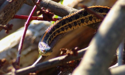 black and yellow snake on brown tree branch illinois zoom background
