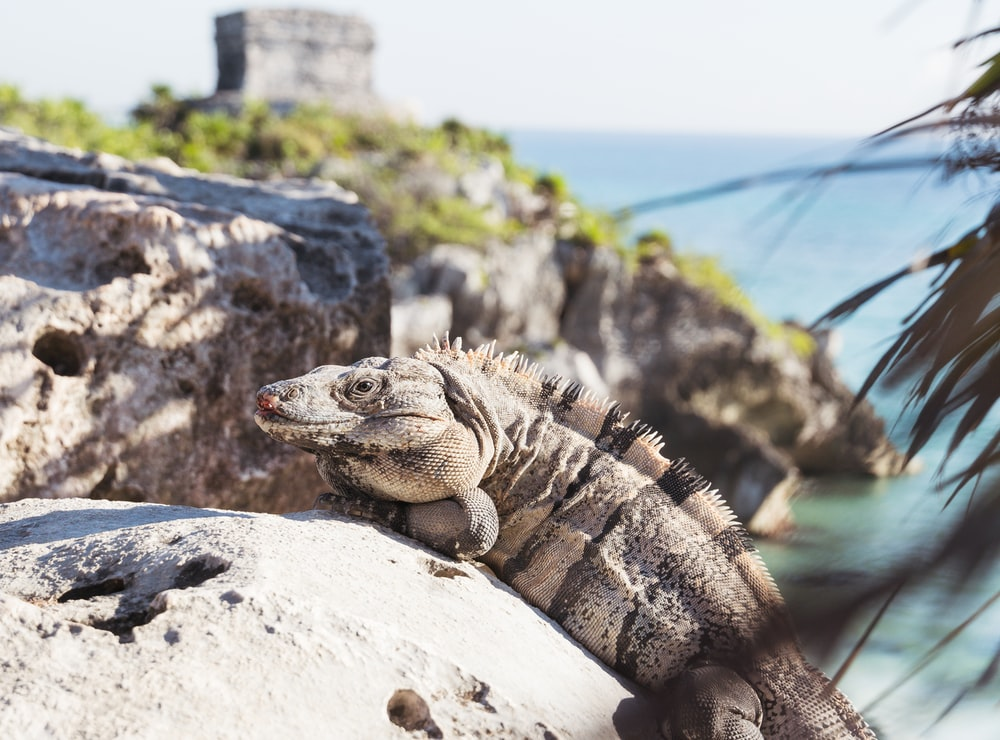 gray and black bearded dragon on gray rock during daytime
