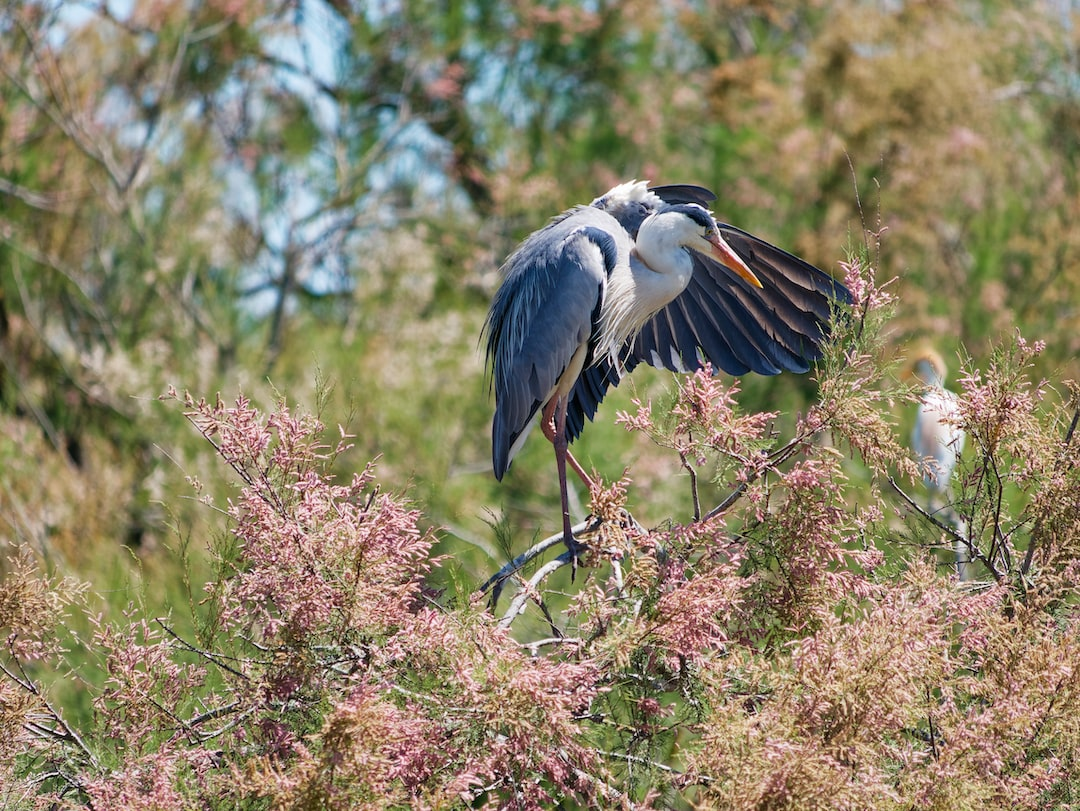 Grey Heron, during spring in an open Ornithological park in France.