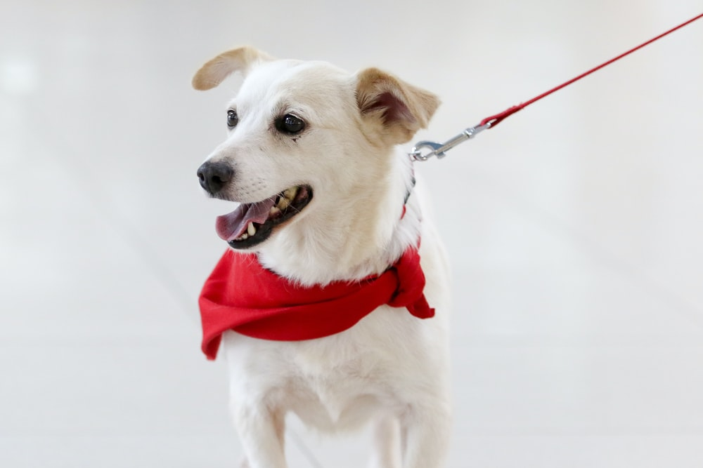 white short coat dog with red scarf