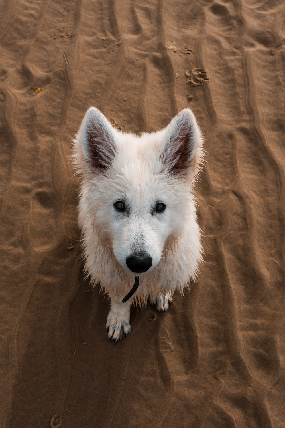 white long coated dog on brown textile