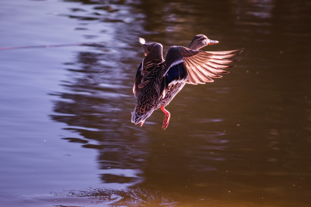 Duck flying in the air at a lake.