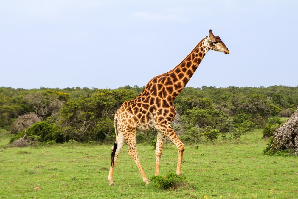 giraffe standing on green grass field during daytime