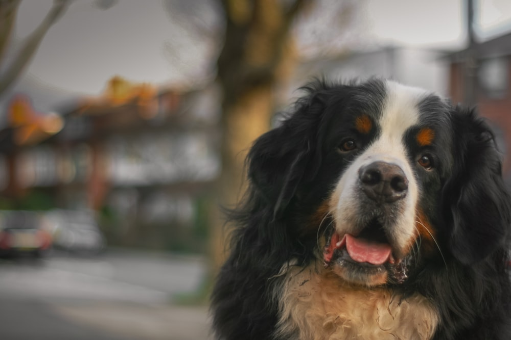 black white and brown bernese mountain dog