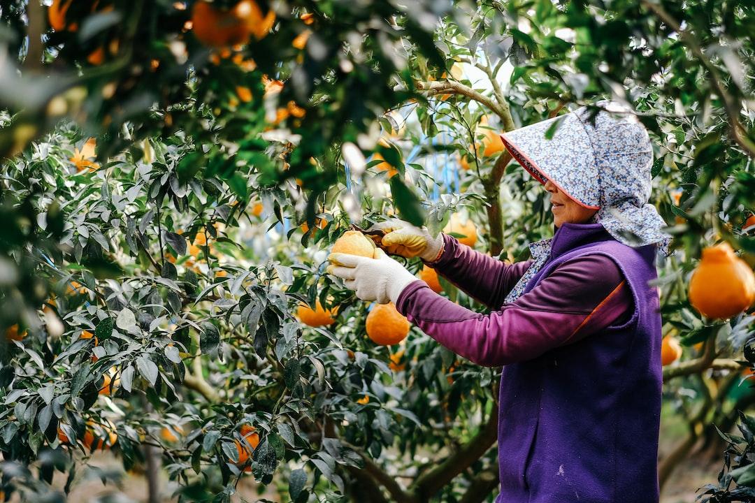Woman In Purple Long Sleeve Shirt Holding Orange Fruit During Daytime - unsplash