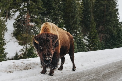 brown bison on snow covered ground bison zoom background