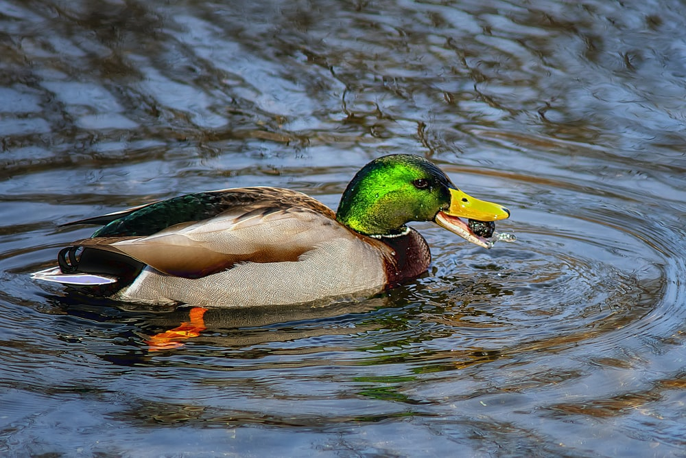brown and green mallard duck on water