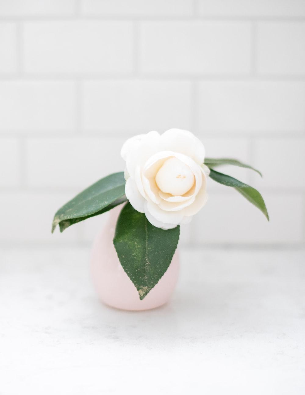 white rose in white ceramic vase