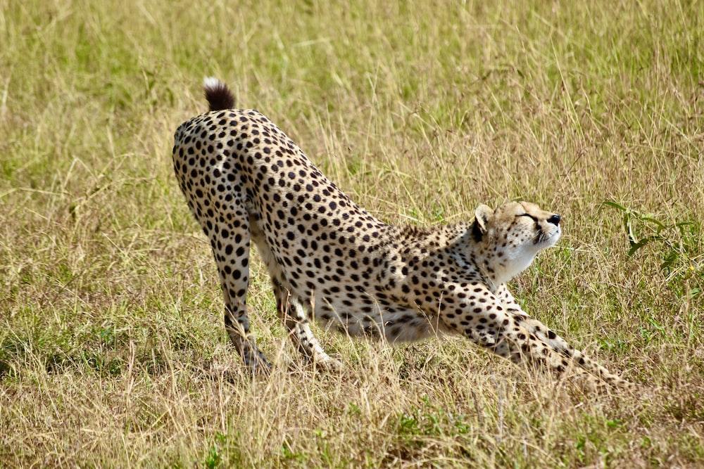 cheetah on brown grass field during daytime