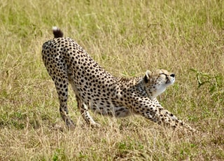 cheetah on brown grass field during daytime